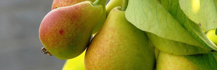 армянские фрукты - груша