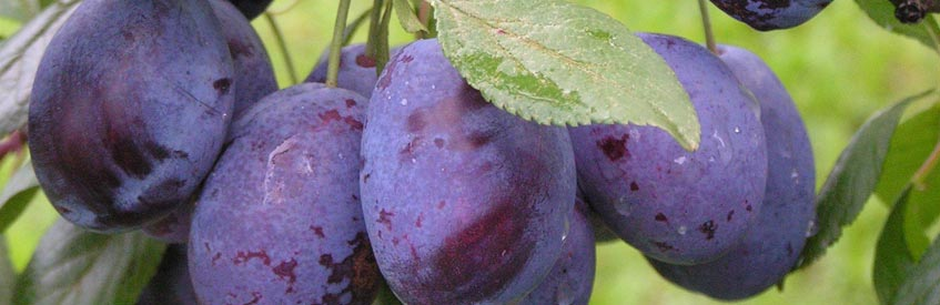 армянские фрукты - слива
