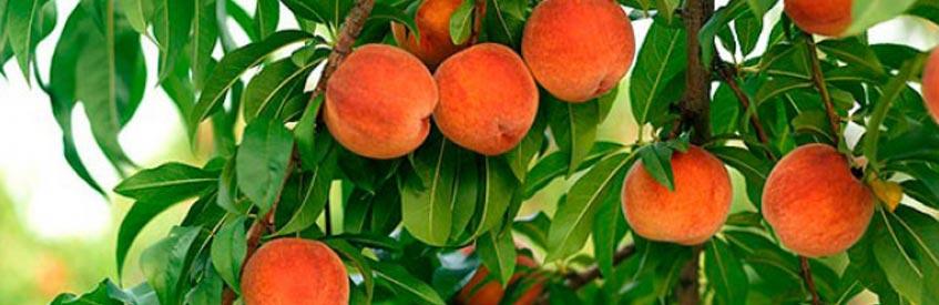 армянские фрукты - персик