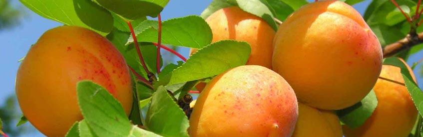 армянские фрукты - абрикос