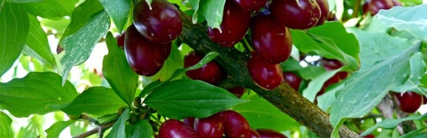 армянские фрукты - кизил